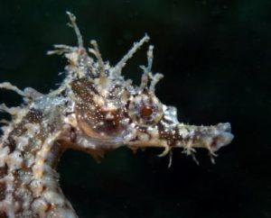 corona de caballito de mar