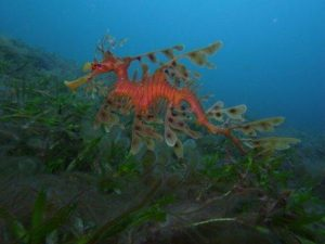 dragon de mar foliado 2
